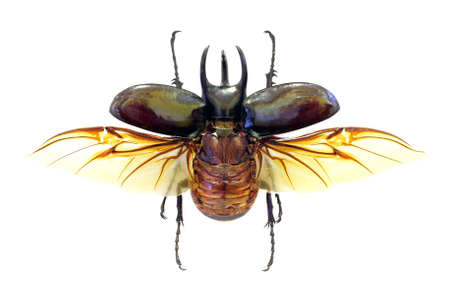 horn beetle: Exotic beetle Chalcosoma atlas in fly (isolated) Stock Photo