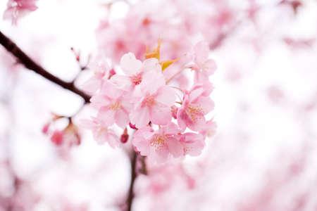 cerezos en flor: Flor de cerezo en Jap�n en primavera