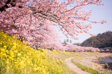 Cherry blossoms and yellow flowers and river. photo