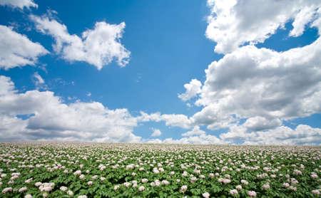 harvest field: Potato field