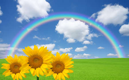 sunflower field: Green grass and rainbow and sunflower Stock Photo