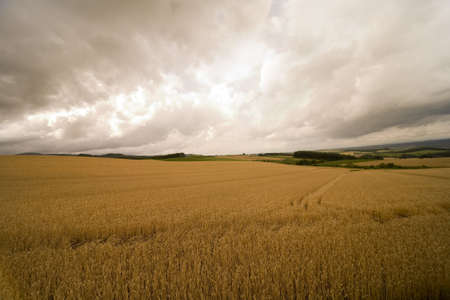coutryside: Landscape of gold wheat field ready to harvest in coutryside. Stock Photo