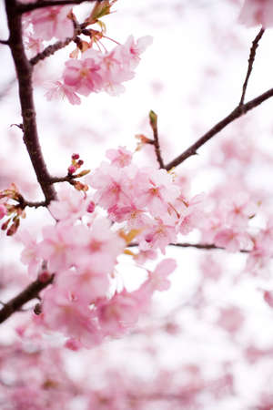 Cherry blossom in japan on spring photo