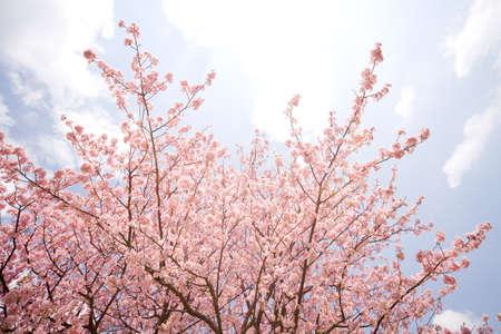 sakura flowers: Cherry blossom in japan on spring