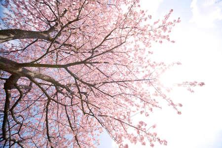 fleurs de cerisiers: Cerisiers en fleurs au Japon le printemps Banque d'images