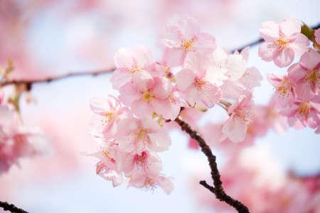 flores cerezo: Cerezos en flor en Jap�n en primavera