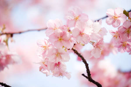 Cherry blossom in japan on spring Stock Photo - 9400234