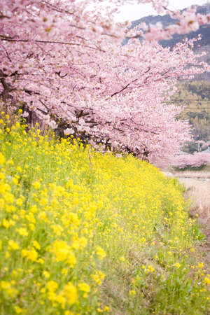Cherry blossoms and yellow flowers and river. Stock Photo