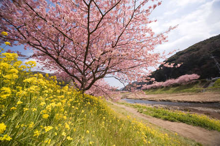 cherry blossom in japan: Cherry blossoms and yellow flowers. Stock Photo