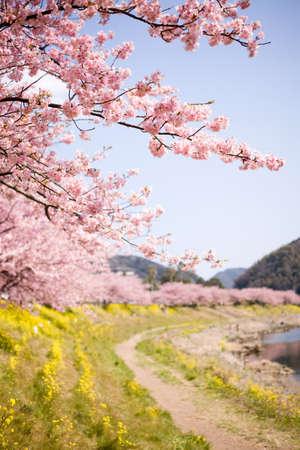 Kirschblüten und gelben Blüten.