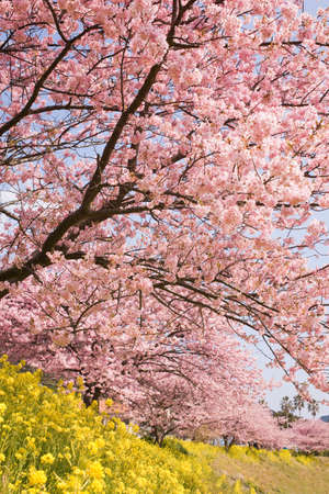 pink cherry: Cherry blossoms and yellow flowers. Stock Photo