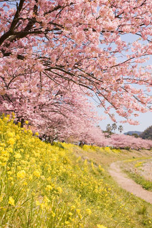 Cherry blossoms and yellow flowers. Stock Photo
