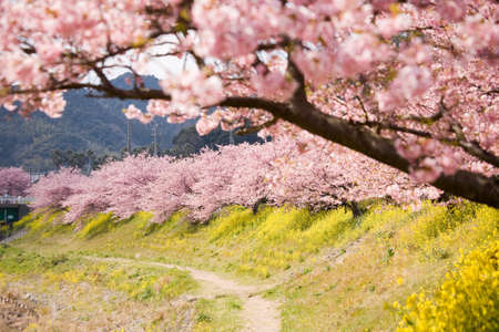 Cherry blossoms and yellow flowers. photo