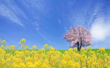 sakura arbol: Semillas de colza y el �rbol de Sakura