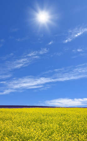 Rapeseed field  Stock Photo - 10900126