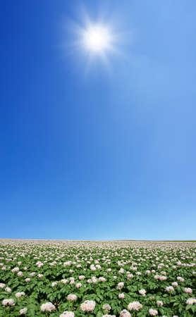 Potato field  photo