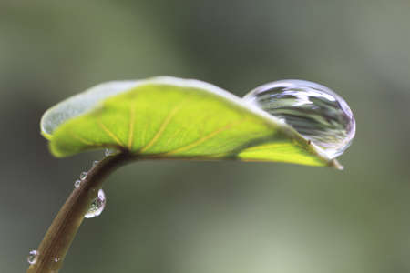 glistening: A single large water droplet with abstract reflections of the surrounding plantss nestles in profile at the tip of a leaf