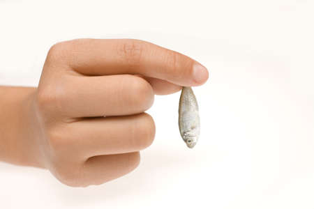sprat: Hand holding a tiny fresh whole sprat which is usually consumed canned or can be used as bait in fishing