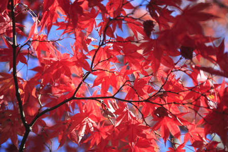 saturated color: Autumnal ornament, red leaves  Stock Photo