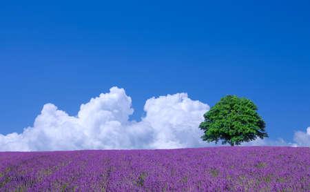 campo de flores: campos de lavanda y �rbol solitario