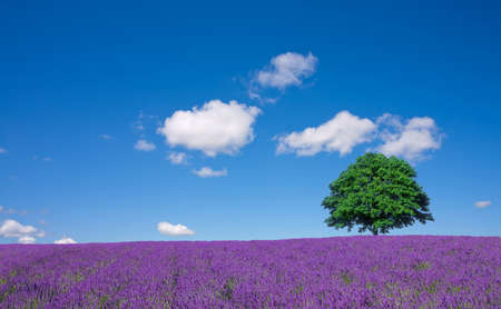 lavender fields and lone tree Banque d'images