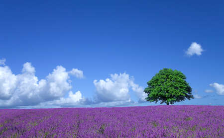 lavender flowers: lavender fields and lone tree Stock Photo