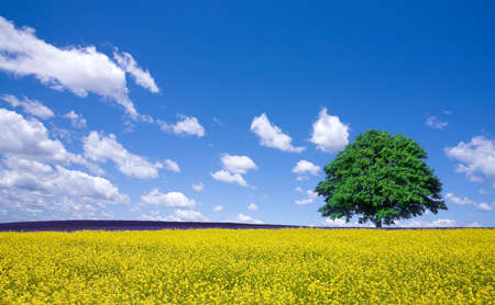 lone tree and rape fields