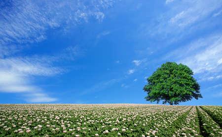 potato tree: potato field and lone tree Stock Photo