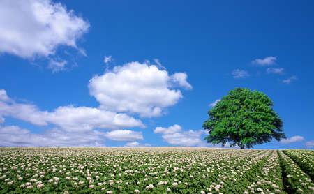 potato field: potato field and lone tree Stock Photo