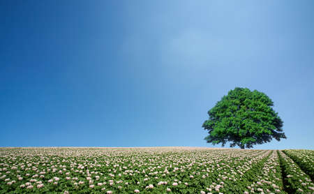potato leaves: potato field and lone tree Stock Photo