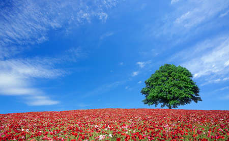 red poppy field and lone tree photo