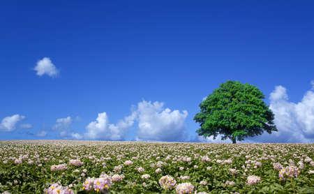 potato field and lone tree Stock Photo - 14771890