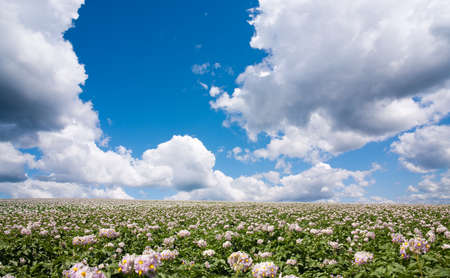 potato field and cloud photo