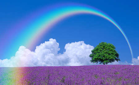 lavender fields and lone tree Stock Photo
