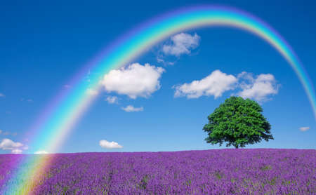 rainbow scene: lavender fields and lone tree Stock Photo
