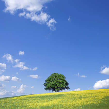 oilseed rape: lone tree and rape fields