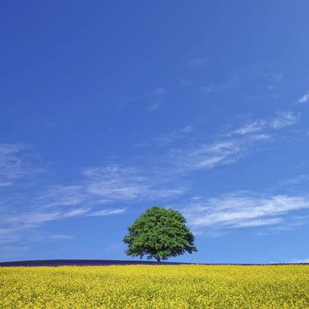 lone tree and rape fields