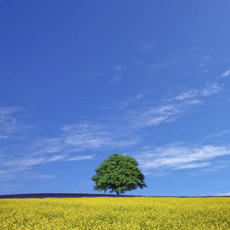 lone tree and rape fields photo