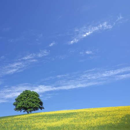 lone tree and rape fields photo