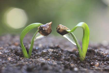 soil: Sprout nella foresta. Archivio Fotografico