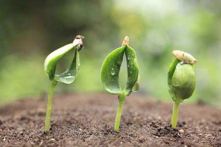 Sprout der Gurke Standard-Bild