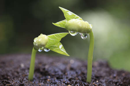 new idea: Sprout of kidney beans