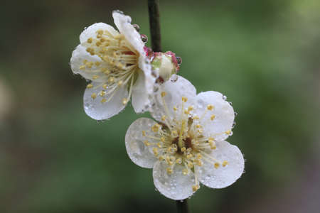 ume: Ume Japanese plum-blossom Stock Photo