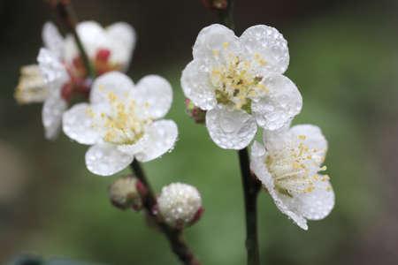 ume: Ume Japanese plum-blossom Stock Photo