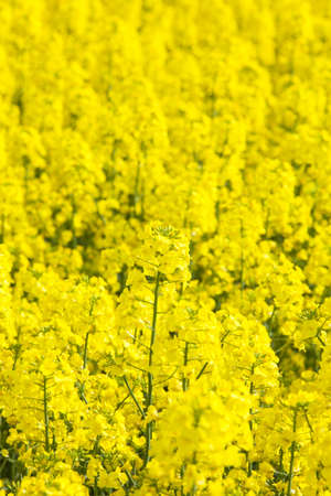 rapeseed: field of rapeseed Stock Photo