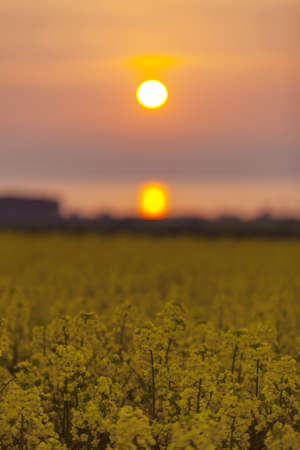Fields of rape at sunset photo