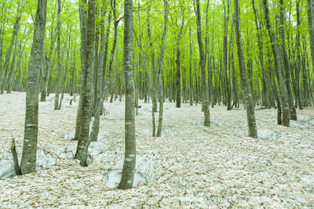 deciduous woodland: Green forest with snowpack