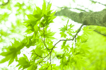 fresh new green leaves glowing in green forest 写真素材