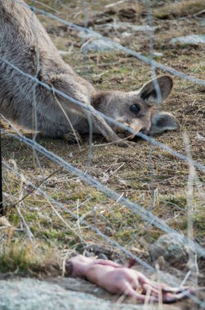 Mother kangaroo staring at dead baby kangaroo joey after being ejected from the pouch in the snowy mountains region
