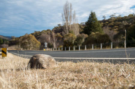 Wombat dead on the side of the road in rural australia on the Alpine way Stock Photo